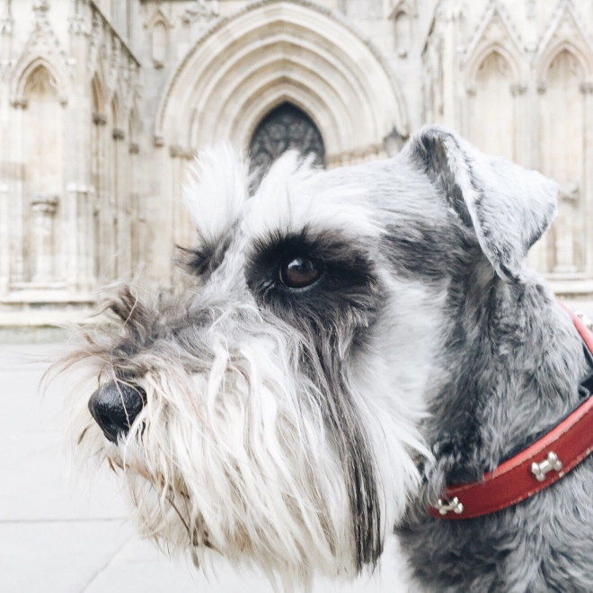 This is Oz. His human taught us all about York Minster and the history of it all. We found out that the stone masons have to undergo a ten year apprenticeship, as they still use medieval techniques to preserve the authenticity of the building.